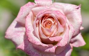 Picture flower, macro, rose, color, petals