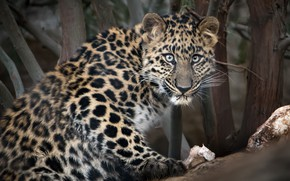 Picture look, The Amur leopard, big cat, zoo San Diego