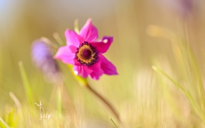 Picture macro, spring, anemone