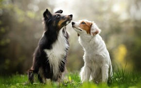 Picture dogs, a couple, bokeh, two dogs