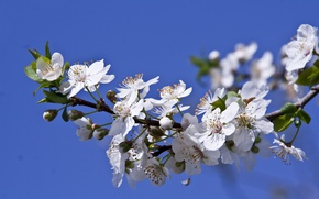 Picture macro, branch, spring, flowering, flowers, drain