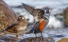Picture water, stones, wings, beak, pair, duck, kamenushka