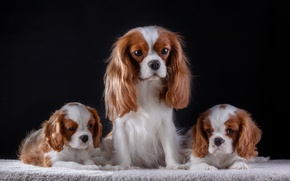 Picture family, puppies, the cavalier king Charles Spaniel
