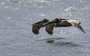 Picture water, birds, pair, flight, pelicans, American brown Pelican