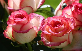 Picture drops, flowers, Roses, buds