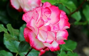 Picture macro, rose, motley