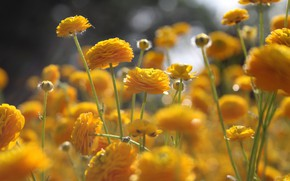 Picture flowers, nature, glade, yellow, meadow