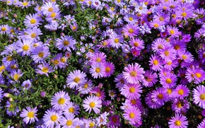 Picture autumn, macro, flowers, asters