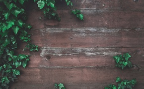 Picture greens, leaves, wall, tree, Board, the fence, wood, ivy