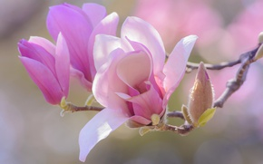 Picture flowers, background, pink, beauty, branch, spring, petals, buds, flowering, gently, flowers, Magnolia