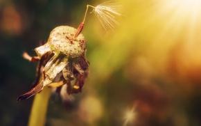 Picture summer, nature, dandelion