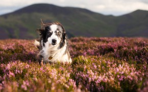 Wallpaper dog, meadow, nature, The border collie, walk, Heather
