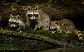 Picture nature, family, raccoons