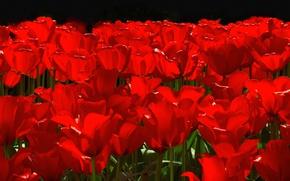 Picture flowers, spring, petals, garden, tulips, flowerbed