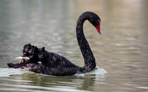 Picture lake, bird, Swan, black Swan, floats