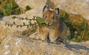 Picture nature, rodent, mammal, pika