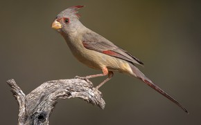 Picture bird, beak, tail, female, parrot cardinal