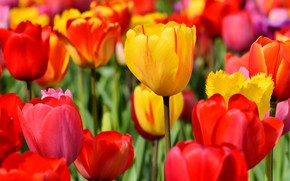 Picture field, leaves, flowers, bright, positive, spring, yellow, garden, tulips, red, buds, flowerbed, al