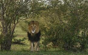 Picture predator, Leo, animal