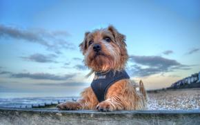 Picture sea, portrait, dog, doggie, The Norfolk Terrier