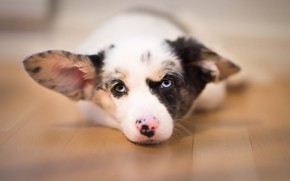 Picture look, puppy, ears, face, doggie, Welsh Corgi cardigan