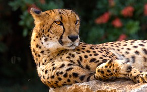 Picture look, face, cats, background, Cheetah, lies, wild cats, wildlife