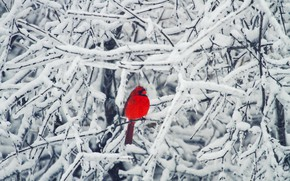Picture winter, snow, branches, tree, bird