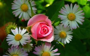 Picture Chamomile, Pink rose, Pink rose