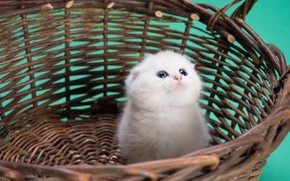 Picture cat, white, kitty, background, small, kitty, basket, chumazik
