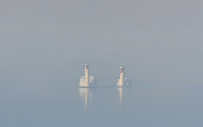 Picture fog, lake, swans