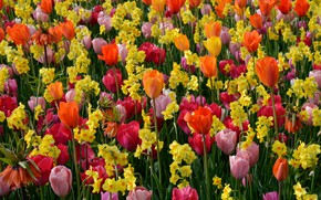 Picture flowers, tulips, colorful, daffodils