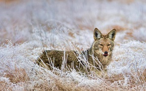 Picture frost, wolf, Washington, USA, coyote, Marymoor Park, Redmond
