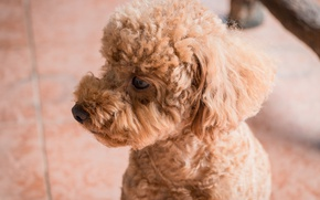 Picture brown, dog, animal, cute, portrait, poodle, mammals, micco