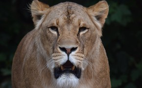 Picture look, face, lioness