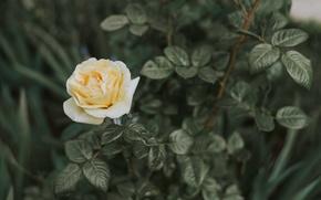 Picture flowers, rose, Bush, rosebud