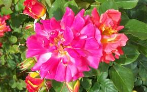 Picture flowers, roses, pink, orange, Meduzanol ©