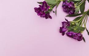 Picture Flowers, Background, Purple, Alstroemeria