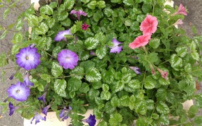 Picture Bush, flowerbed, petunias, mamala ©
