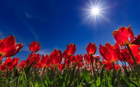 Picture the sky, the sun, tulips