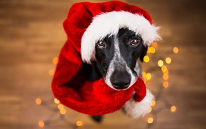 Picture eyes, look, face, background, new year, portrait, dog, floor, Santa Claus, garland, sitting, light bulb, …
