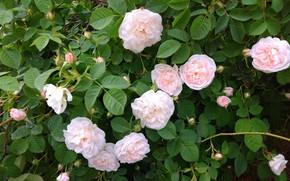 Picture Bush, roses, pink, buds, mamala ©