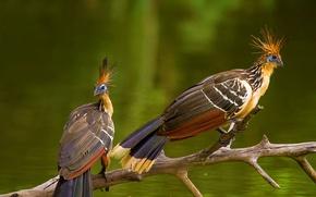 Picture bird, Amazon, hoatzin