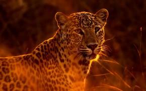 Picture grass, the sun, predator, leopard, handsome, bokeh, spotted