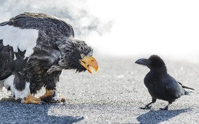 Picture birds, meeting, eagle, Raven, white-tailed