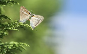 Picture grass, macro, butterfly, nature, pair
