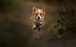 Picture jump, dog, flight, walk, bokeh, doggie, levitation, Welsh Corgi