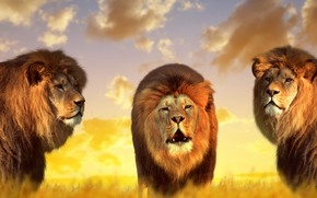 Picture nature, lions, kings