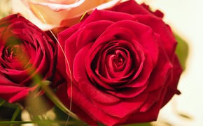 Picture Bokeh, Red roses, Red roses