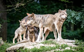 Picture forest, nature, wolves