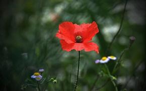 Picture Spring, Spring, Bokeh, Bokeh, Red poppy, Red poppy